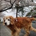 マシューとの桜の季節