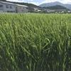 稲に穂が出来ています