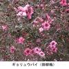 ギュリュウバイ 花姿が美しく,梅の文字を入れる命名に納得できる花です.ニュージーランド,オーストラリア,タスマニア原産で,日本では紅花八重が主ですが,原種は一重の白・赤・ピンク.英語のマヌカ(manuka)は,もともとニュージーランド先住民のマオリ語から.そして,このマヌカの名前が最も頻出するのが,蜂蜜の広告.美味しく,健康に良いとして大宣伝されているようです.「梅/梅花の名前が付けられた植物」10-3