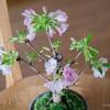 開花宣言! 自宅リビングで花見をして過ごす週末盆栽桜日記:4/3〜4/5