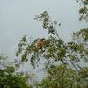 コタキナバルで現地ツアーに参加してテングザルに会う