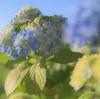 一株の紫陽花。Nikkor Z 50mm F1.8 S