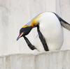 オウサマペンギン Aptenodytes patagonicus