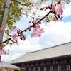 三十三間堂の河津桜。