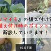 【家庭菜園】『サツマイモ』の植え付け完了!植え付け時のポイントを解説していきます!
