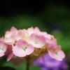 紫陽花の写真を撮ってきた。(Lumix G 25mm f1.7使用) 感想