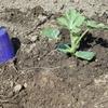 里山の畑にスイカの苗を植えました。