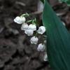 「すずらん」の花