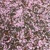桜の話題ももうおしまい