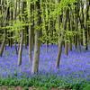 Blue bells in UK