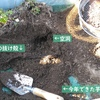 山芋掘り続き、にんにくの植え付け、いちごの植え替え、始まる