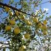 """とても希少な """"蜜入りが多い黄色いりんご"""" の収穫が始まりました!"""