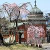京都国立博物館の桜