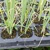 長ネギの植え付けとジャガイモの初収穫の記録