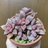 うちの多肉植物たち(グラプトペタルム)