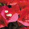 今日の誕生花「ブーゲンビリア」南国の花!色とりどりの強烈なイメージの花!