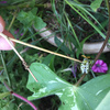 庭に咲いたアサガオにあいつが大量に出現してた実家 by 2017