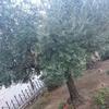 【中東】エルサレム ゲッセマネの園 平和の木