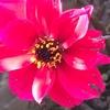 ダリア カンナ 懐かしくて新しいお花