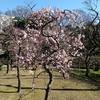 【芸術鑑賞的お出かけ】小石川後楽園の梅林を見に。小学男子でもわかる文化財庭園の見事さ、梅の美しさ