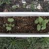 オシロイバナ(新たな発芽も)その5