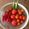 """畑からこんにちは! 0925   """" 総集編/第四弾!・収穫のまとめ """"   自分で育てた野菜が食卓に!楽しい家庭菜園!"""