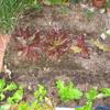 【家庭菜園】レタス植えました。