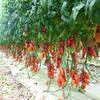 イタリアの夏と言えば「ポモドーリ」の収穫! トマト缶製造シーズンです!!! その2