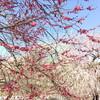 いなべ市梅林公園【整然と花盛り2021】
