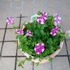 夏の花の準備 ペチュニア