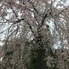 京の桜満開です!