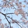 買ったカメラで桜を撮りに行く