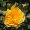 開花ラッシュ…5 中香ではなく、咲き始めは強香かと