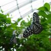 伊丹市昆虫館で蝶にまみれてきた