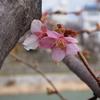 河津桜、咲いてませんでした