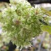 ギョイコウ,御衣黄,緑の桜,Cerasus lannesiana 'Gioiko'
