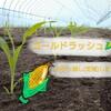トウモロコシ定植~ゴールドラッシュ  金塊を探し当てろ!~