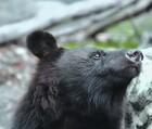 新潟熊出没情報!木の実凶作でツキノワグマ大量出没の危機