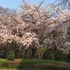 桜は咲くーど貧乳編ー