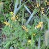 ナガミノツルキケマンとハガクレツリフネ 高千穂の植物