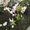 雨あがりの谷中霊園 谷中の桜開花状況4月9日(日)