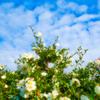 冬の寒空白雲に 白い山茶花冬の花咲き
