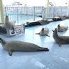 【ゴマちゃんと遊ぼう】体験型の日本最北のアザラシの保護施設