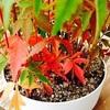 ハゼの盆栽は秋色、栗おこわも秋色