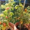 最近の家庭菜園と畑。私の窓辺の多肉植物たち。[家庭菜園][畑]