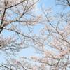 地元の桜めぐり Part2 (4月4日編) Ⅵ