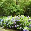 卯辰山花菖蒲園のアジサイさん・・