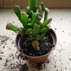 🌵多肉植物❪ゴーラム❫❪ホービット❫🌵梅酢作りの準備💚
