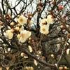 梅の花との久し振りの再会
