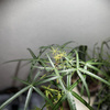 【ボトルツリー成長記録】新しい新芽が出てきました!